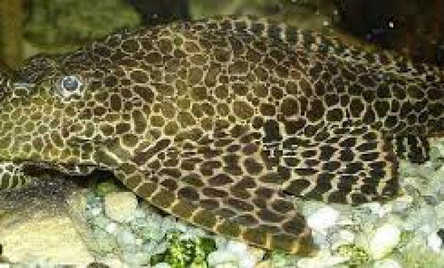 Recommendations Fish That Eats Algae in Fish Tank: Leopard Pleco