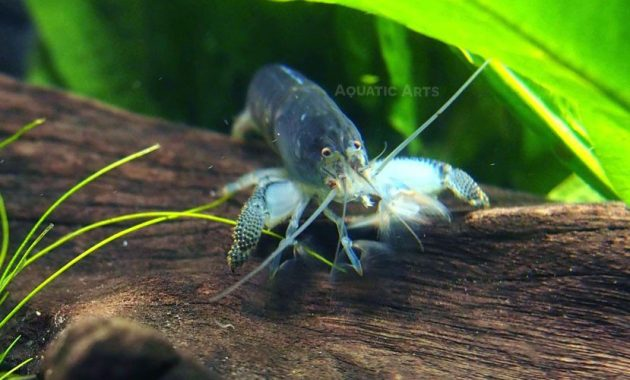 The Good Algae Eating Shrimp in Freshwater Aquarium: Vampire Shrimp
