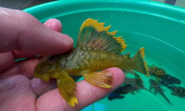 The Loyal Algae Eating Fish Plecostomus In Freshwater Aquarium: Magnum Pleco