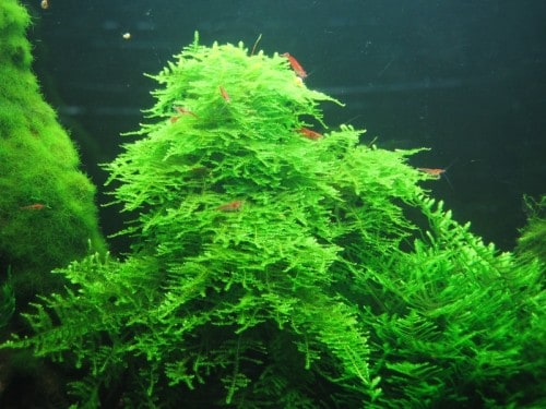 "Fast Growing Aquarium Plants ""Taxiphyllum Alternans Called Taiwan Moss"""