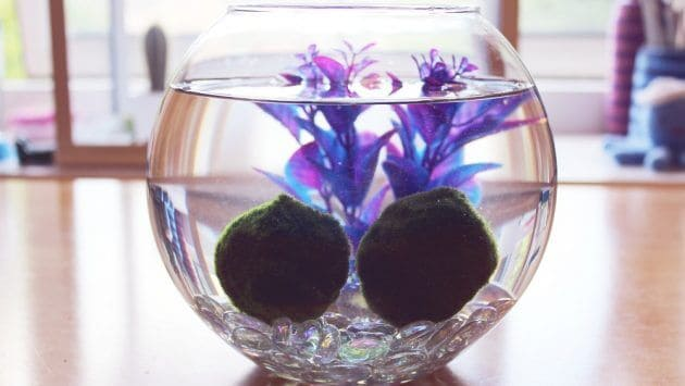 The Easiest Aquarium Plants For Beginner Aegagropila Linnaei Known as Marimo Moss Balls