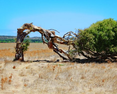 Leaning Gum Tree bei Geraldton