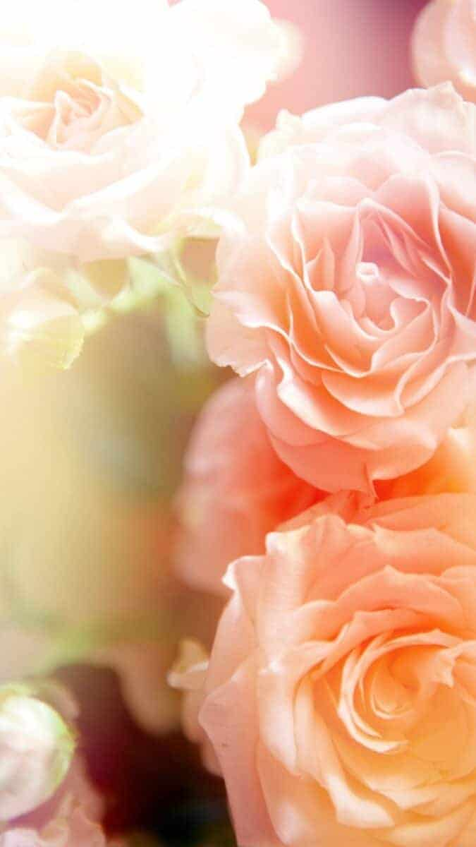 peach roses wallpapers for iphone