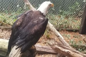 Injured Bald Eagle Rescued by Boat on Patapsco River