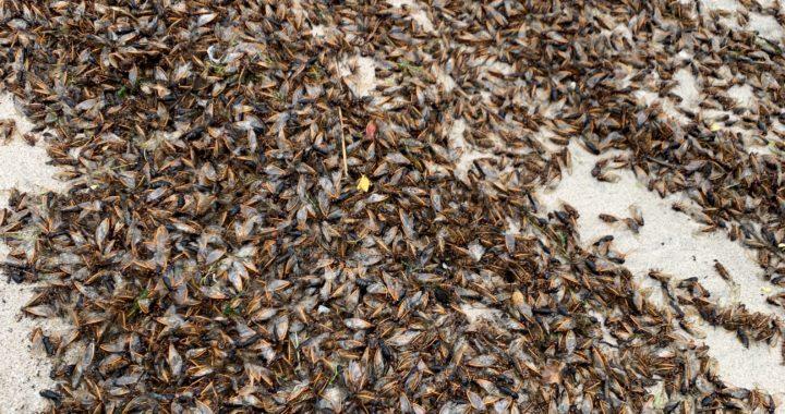 Cicadas Overtake Mid-Bay Beaches