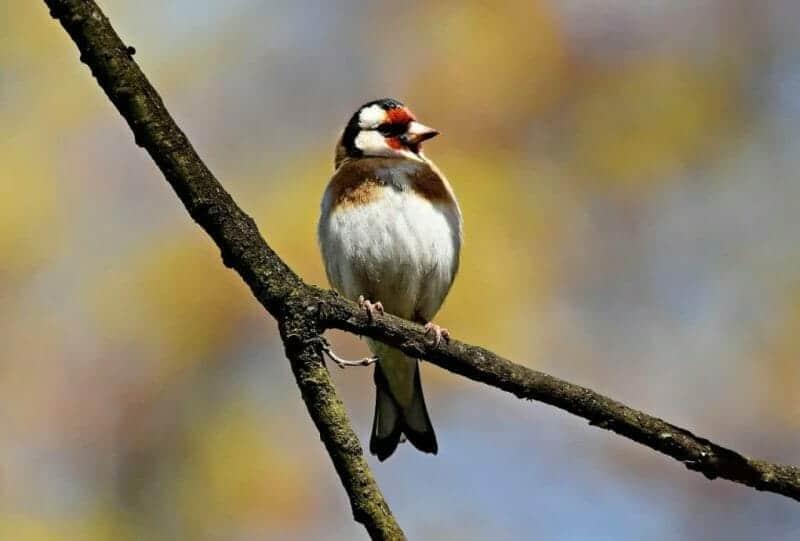 goldfinch photo