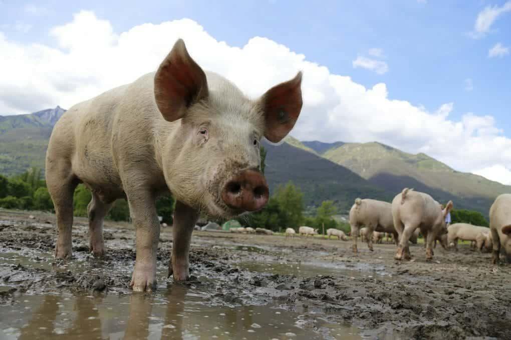 farm pig photo