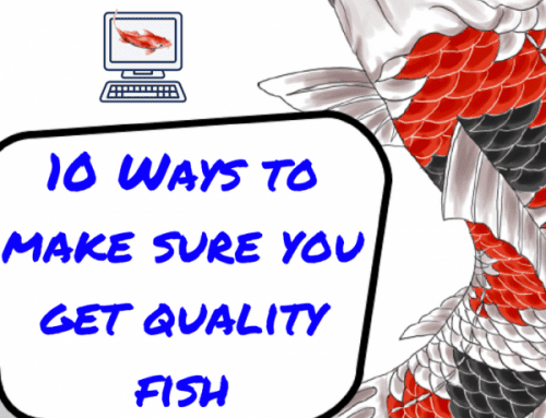Koi Fish For Sale: 10 Things To Be Aware When Buying Koi Online