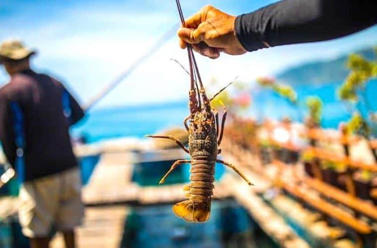 Spiny Lobster Farming
