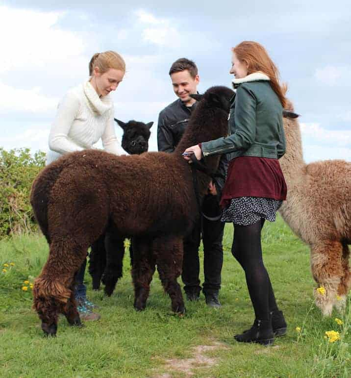 Group of people leaning in and looking at an alpaca fleece