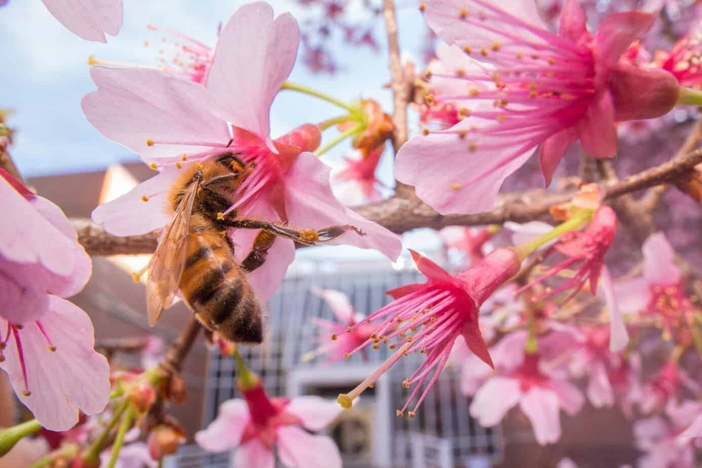A honey bee worker collecting nectar. Bees rely on flowers as their primary food source, but some turn to human sugars in urban environments. (photo: Lauren Nichols)