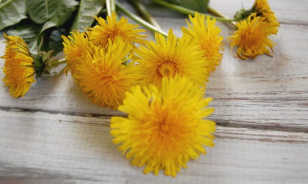 50+ Ways to Use Dandelion (Roots, Leaves, Flowers)