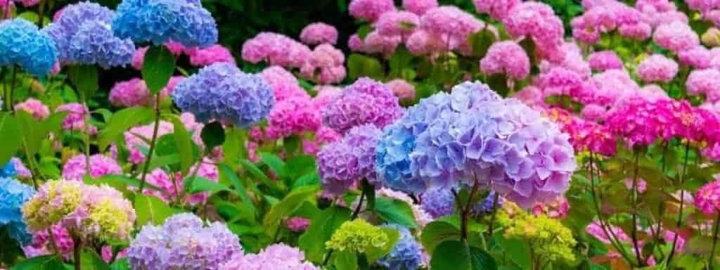 does hydrangea colourant work