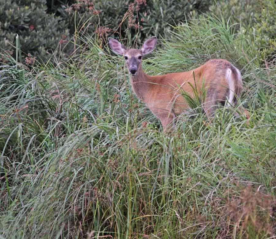 Whitetail Deer in Acadia National Park
