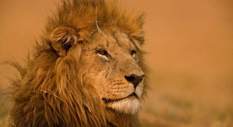 selinda camp lion