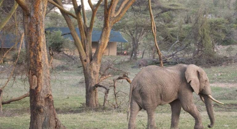 Porini Cheetah Camp Elephant