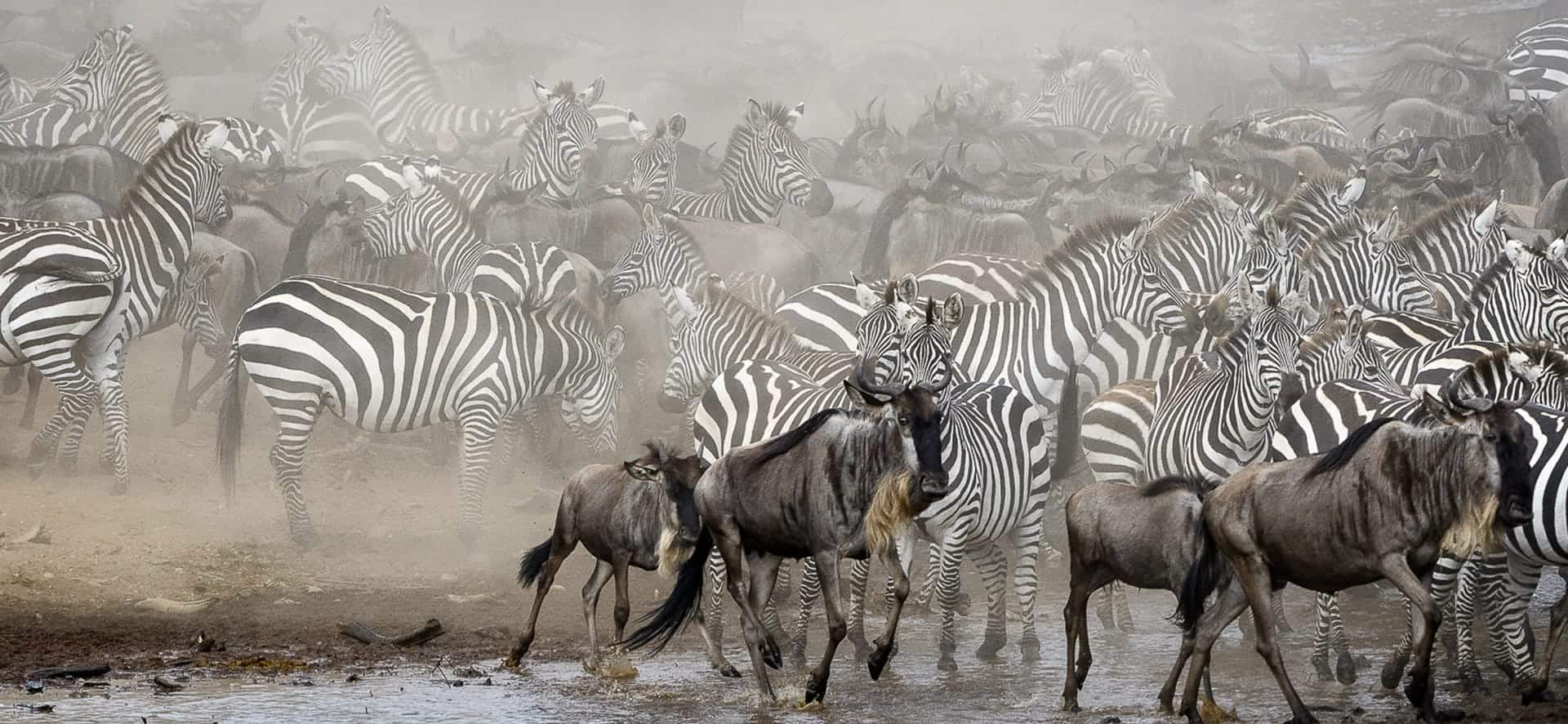 Wildebeest Mara Migration 2020