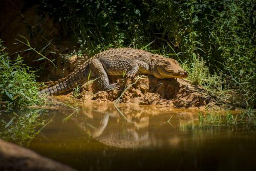 Ennedi Crocodiles