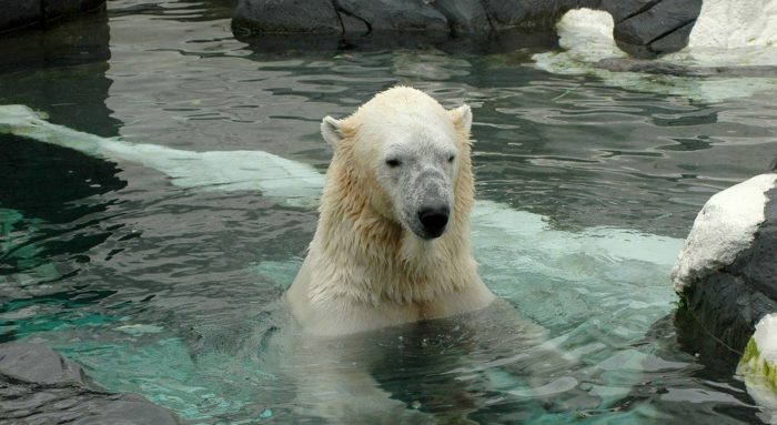 The polar bears at the san diego zoo love the cooler winter weather