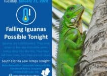 Why Do Iguanas Drop From Trees When It's Cold in Florida?