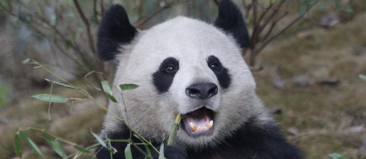 Dark circles panda