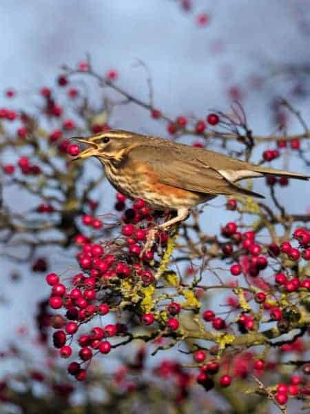 redwing bird attracted to berries on bush