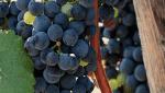商標登録insideNews:「門外不出」のブドウで大阪産ワインをブランド化へ 復権狙う地元ワイナリー | SankeiBiz