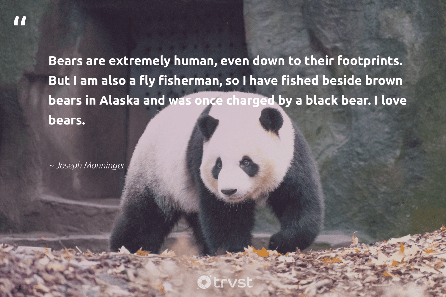 """""""Bears are extremely human, even down to their footprints. But I am also a fly fisherman, so I have fished beside brown bears in Alaska and was once charged by a black bear. I love bears.""""  - Joseph Monninger #trvst #quotes #love #bears #bear #amazingworld #beinspired #biodiversity #gogreen #splendidanimals #ecoconscious #bearlove"""