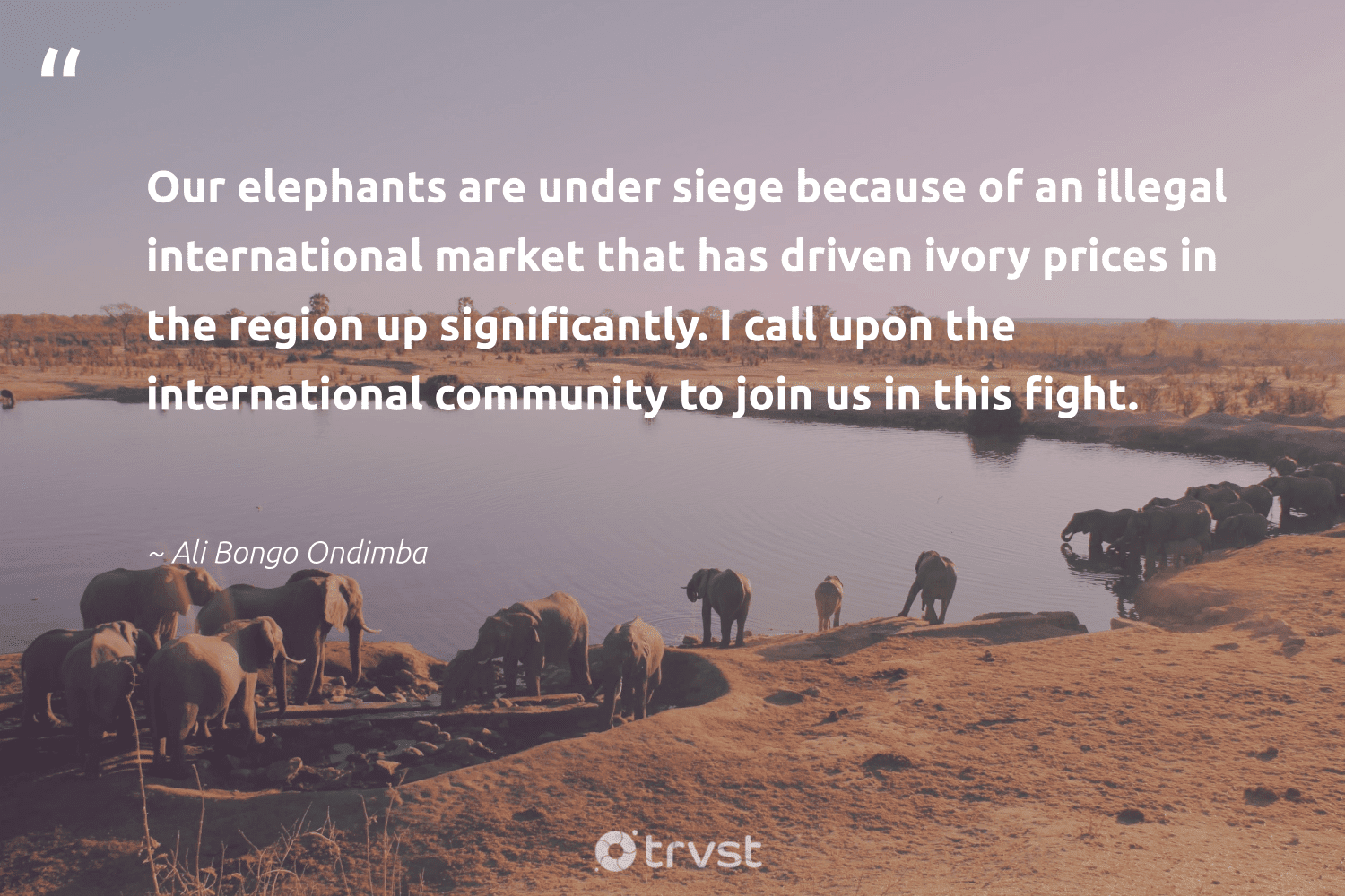 """""""Our elephants are under siege because of an illegal international market that has driven ivory prices in the region up significantly. I call upon the international community to join us in this fight.""""  - Ali Bongo Ondimba #trvst #quotes #elephants #wildlife #ecoconscious #elephantlover #dosomething #mammals #dogood #wildanimals #planetearthfirst #conservation"""