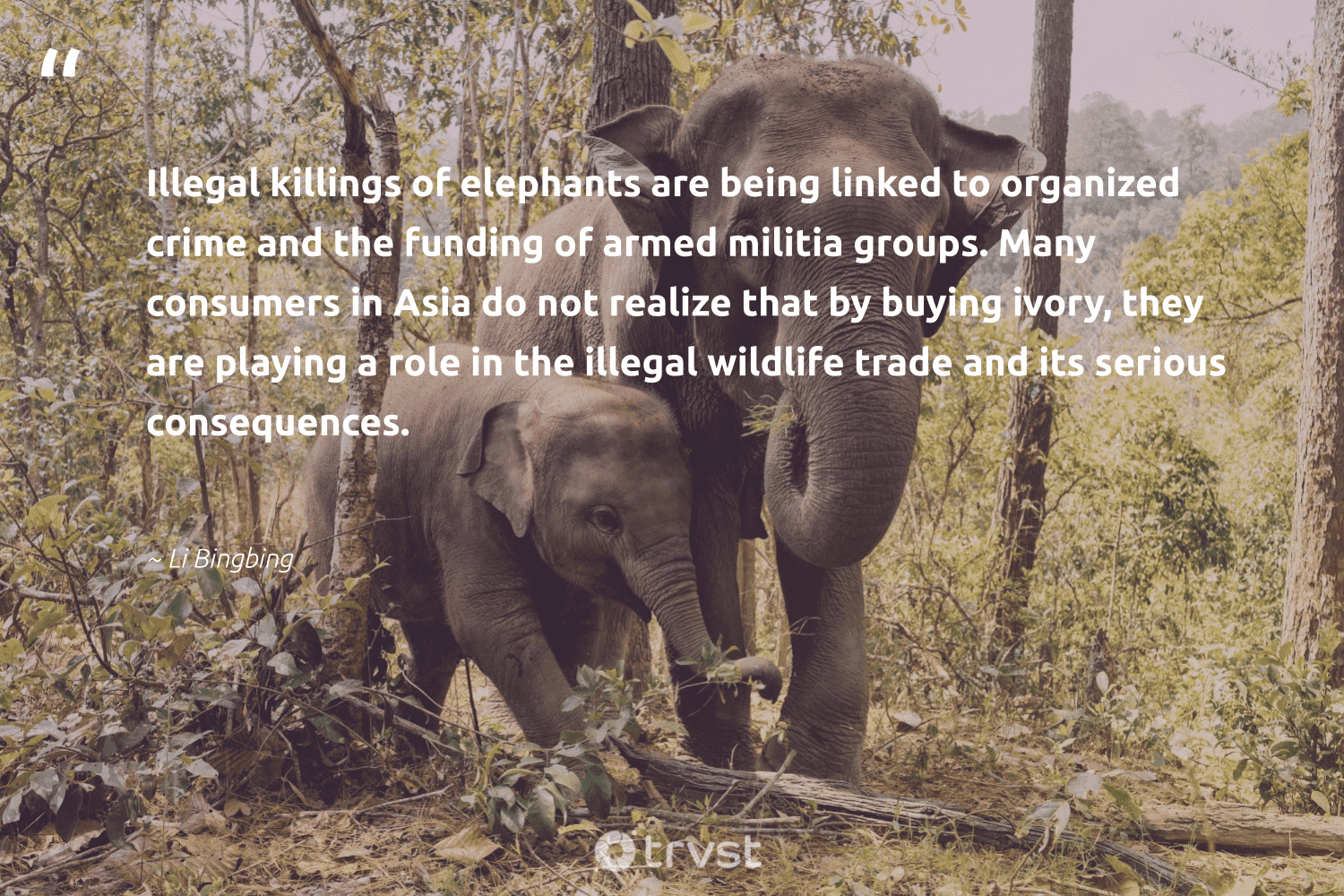 """""""Illegal killings of elephants are being linked to organized crime and the funding of armed militia groups. Many consumers in Asia do not realize that by buying ivory, they are playing a role in the illegal wildlife trade and its serious consequences.""""  - Li Bingbing #trvst #quotes #wildlife #elephants #animal #explore #nature #socialchange #animallovers #wildanimals #natural #ecoconscious"""