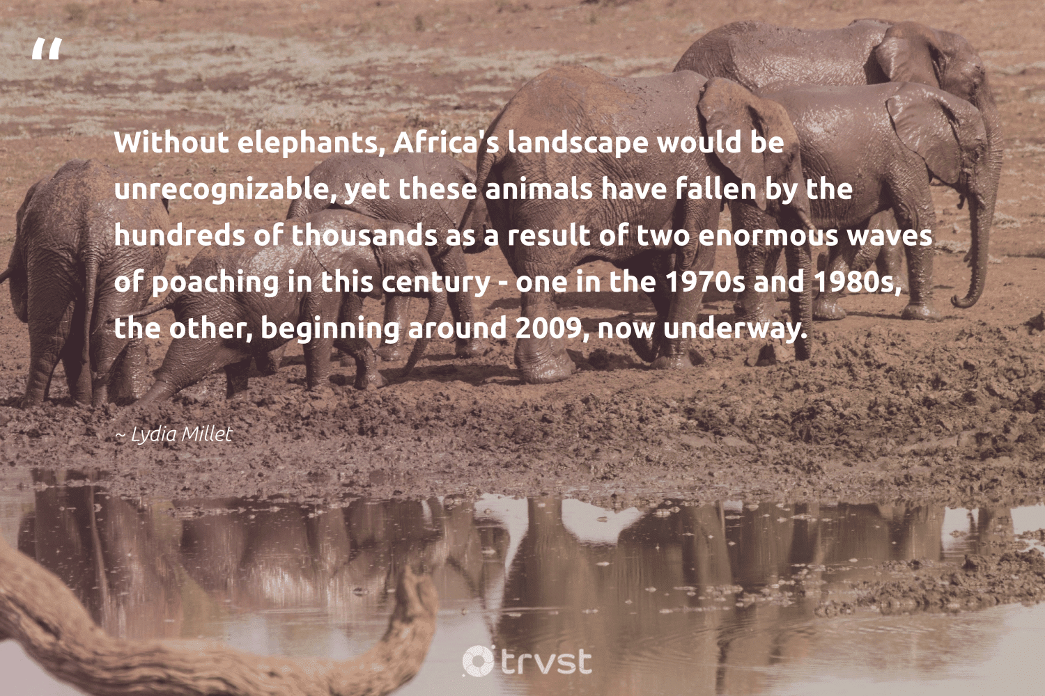 """""""Without elephants, Africa's landscape would be unrecognizable, yet these animals have fallen by the hundreds of thousands as a result of two enormous waves of poaching in this century - one in the 1970s and 1980s, the other, beginning around 2009, now underway.""""  - Lydia Millet #trvst #quotes #waves #animals #elephants #wildlife #elephantlove #nature #planetearthfirst #animallovers #endangered #geology"""