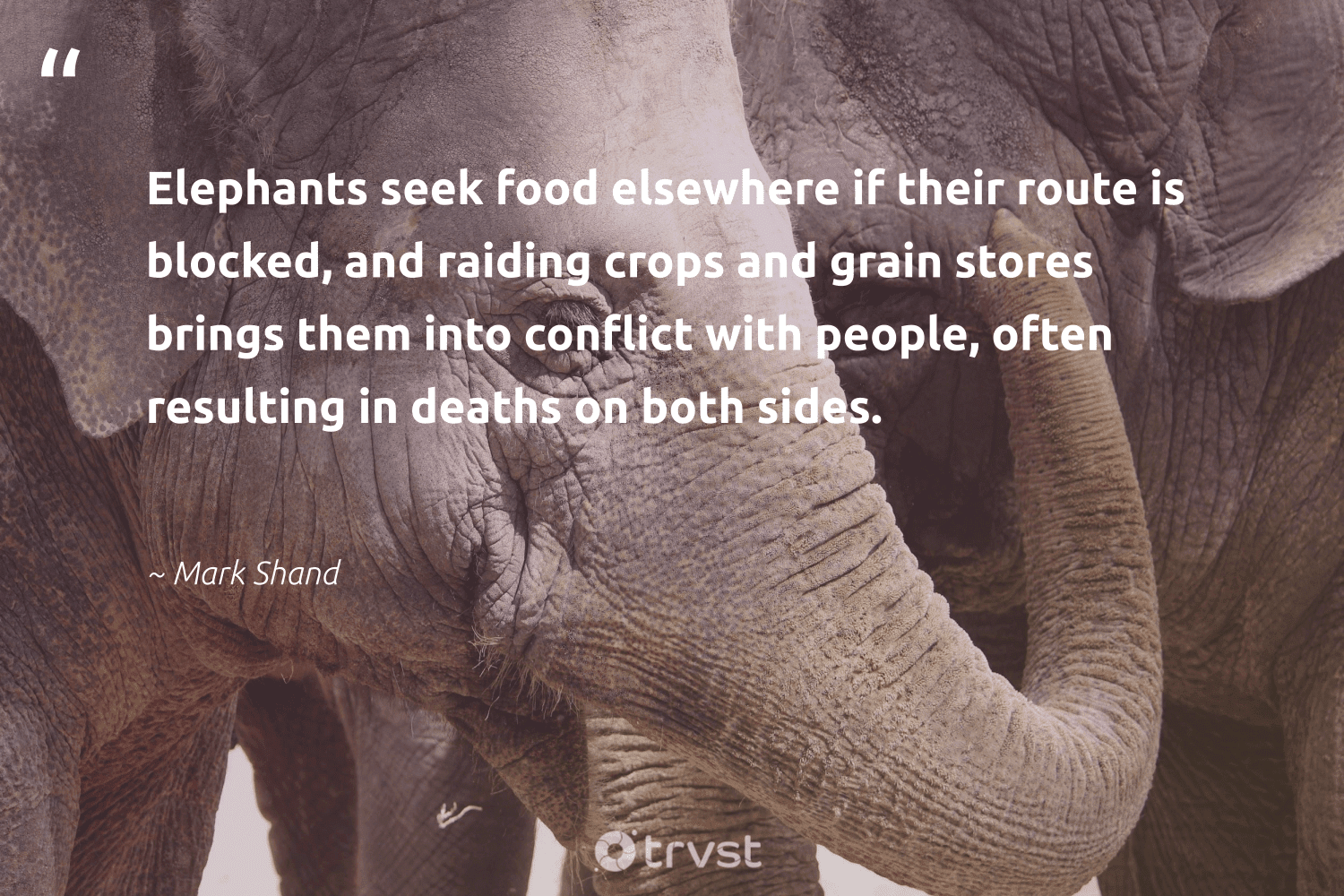 """""""Elephants seek food elsewhere if their route is blocked, and raiding crops and grain stores brings them into conflict with people, often resulting in deaths on both sides.""""  - Mark Shand #trvst #quotes #food #elephants #hungry #explore #makeadifference #dogood #hunger #conservation #equalopportunity #dotherightthing"""