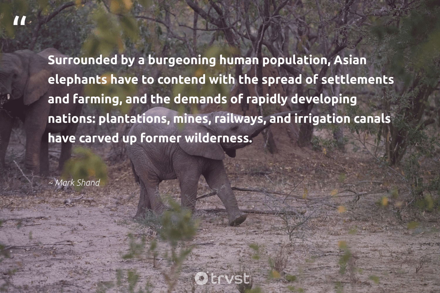 """""""Surrounded by a burgeoning human population, Asian elephants have to contend with the spread of settlements and farming, and the demands of rapidly developing nations: plantations, mines, railways, and irrigation canals have carved up former wilderness.""""  - Mark Shand #trvst #quotes #wilderness #elephants #elephantlove #socialchange #endangered #bethechange #endangeredspecies #collectiveaction #naturelovers #impact"""