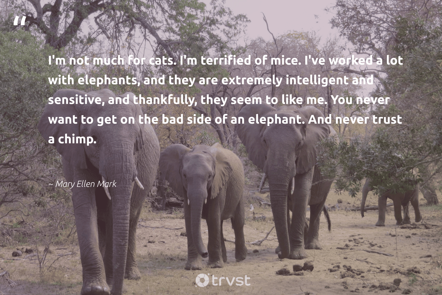 """""""I'm not much for cats. I'm terrified of mice. I've worked a lot with elephants, and they are extremely intelligent and sensitive, and thankfully, they seem to like me. You never want to get on the bad side of an elephant. And never trust a chimp.""""  - Mary Ellen Mark #trvst #quotes #elephants #elephant #dosomething #elephantlover #dotherightthing #animals #takeaction #wildanimals #dogood #wildgeography"""