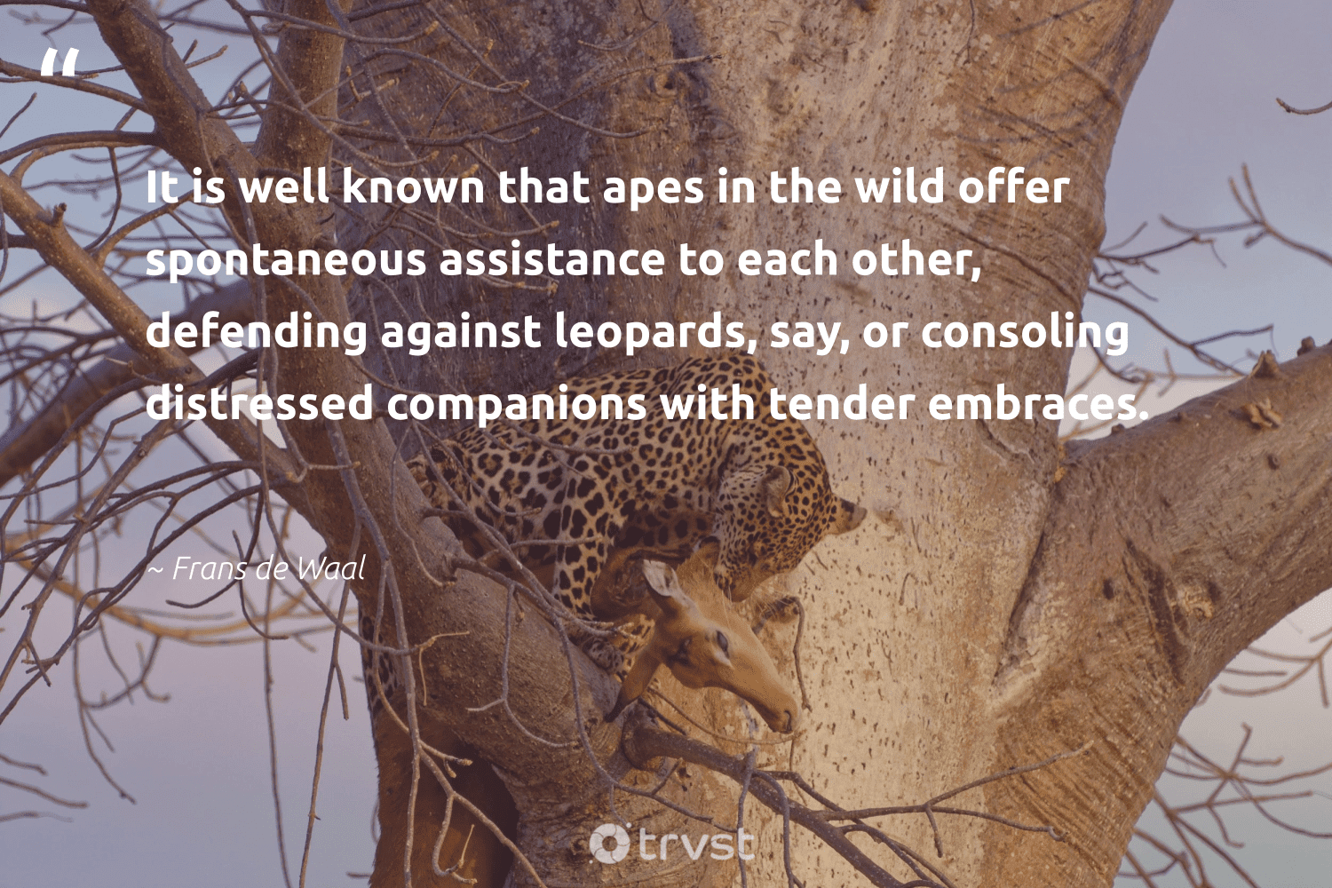 """""""It is well known that apes in the wild offer spontaneous assistance to each other, defending against leopards, say, or consoling distressed companions with tender embraces.""""  - Frans de Waal #trvst #quotes #leopards #wild #big5 #bethechange #wildlifeprotection #ecoconscious #majesticwildlife #impact #wildlife #changetheworld"""
