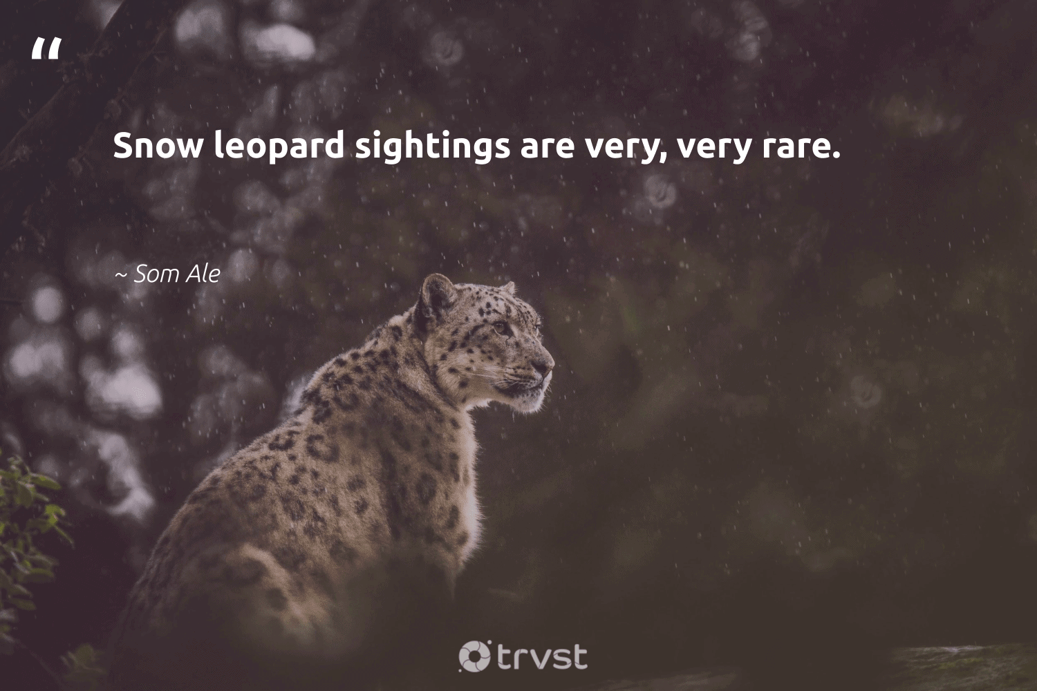 """""""Snow leopard sightings are very, very rare.""""  - Som Ale #trvst #quotes #snow #leopard #winter #biodiversity #volunteer #ecoconscious #extremeweather #wild #climatechange #bethechange"""