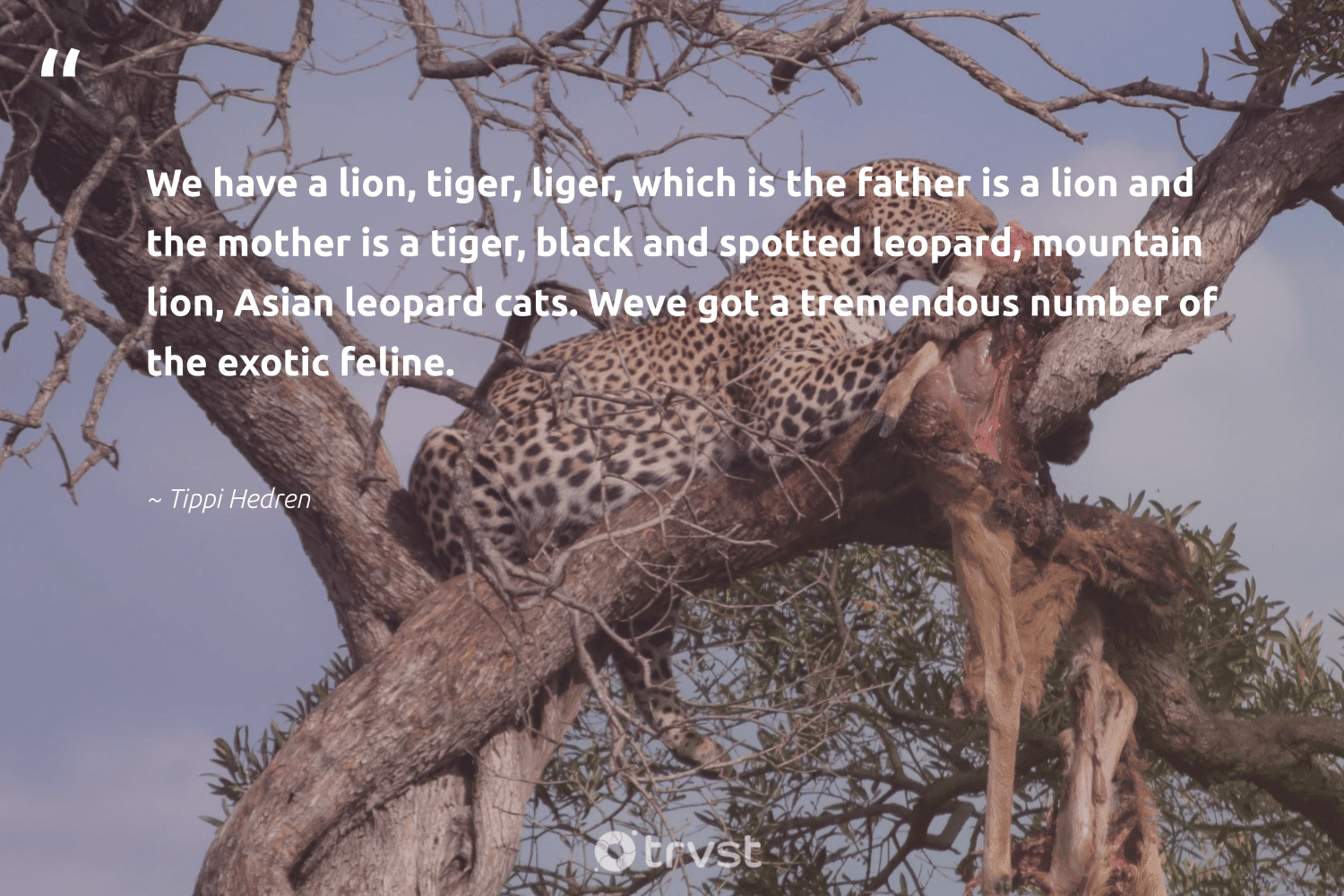 """""""We have a lion, tiger, liger, which is the father is a lion and the mother is a tiger, black and spotted leopard, mountain lion, Asian leopard cats. Weve got a tremendous number of the exotic feline.""""  - Tippi Hedren #trvst #quotes #mountain #tiger #leopard #protectnature #collectiveaction #conservation #bethechange #majesticwildlife #thinkgreen #leopards"""
