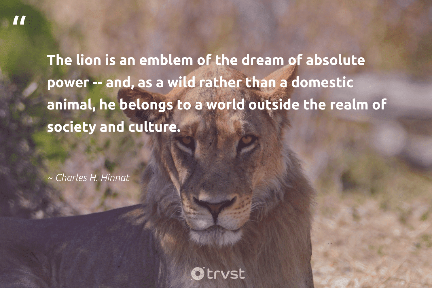 """""""The lion is an emblem of the dream of absolute power -- and, as a wild rather than a domestic animal, he belongs to a world outside the realm of society and culture.""""  - Charles H. Hinnat #trvst #quotes #animal #society #wild #lion #animallovers #splendidanimals #nature #changetheworld #animals #bigcats"""
