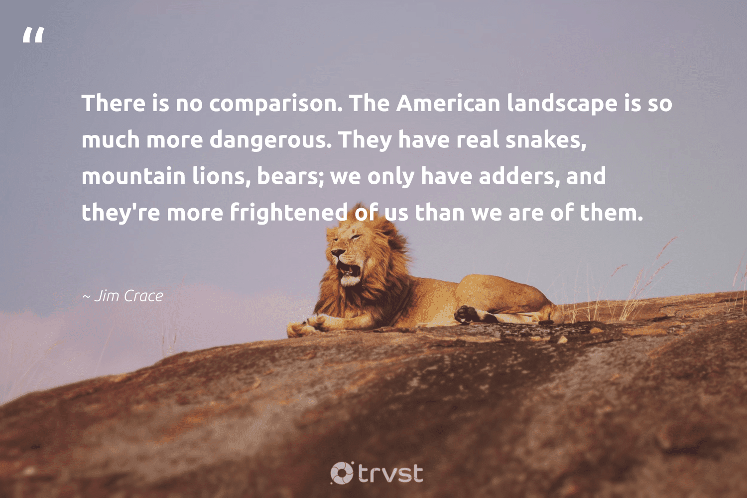 """""""There is no comparison. The American landscape is so much more dangerous. They have real snakes, mountain lions, bears; we only have adders, and they're more frightened of us than we are of them.""""  - Jim Crace #trvst #quotes #mountain #lions #splendidanimals #collectiveaction #lion #beinspired #nature #dosomething #big5 #dogood"""