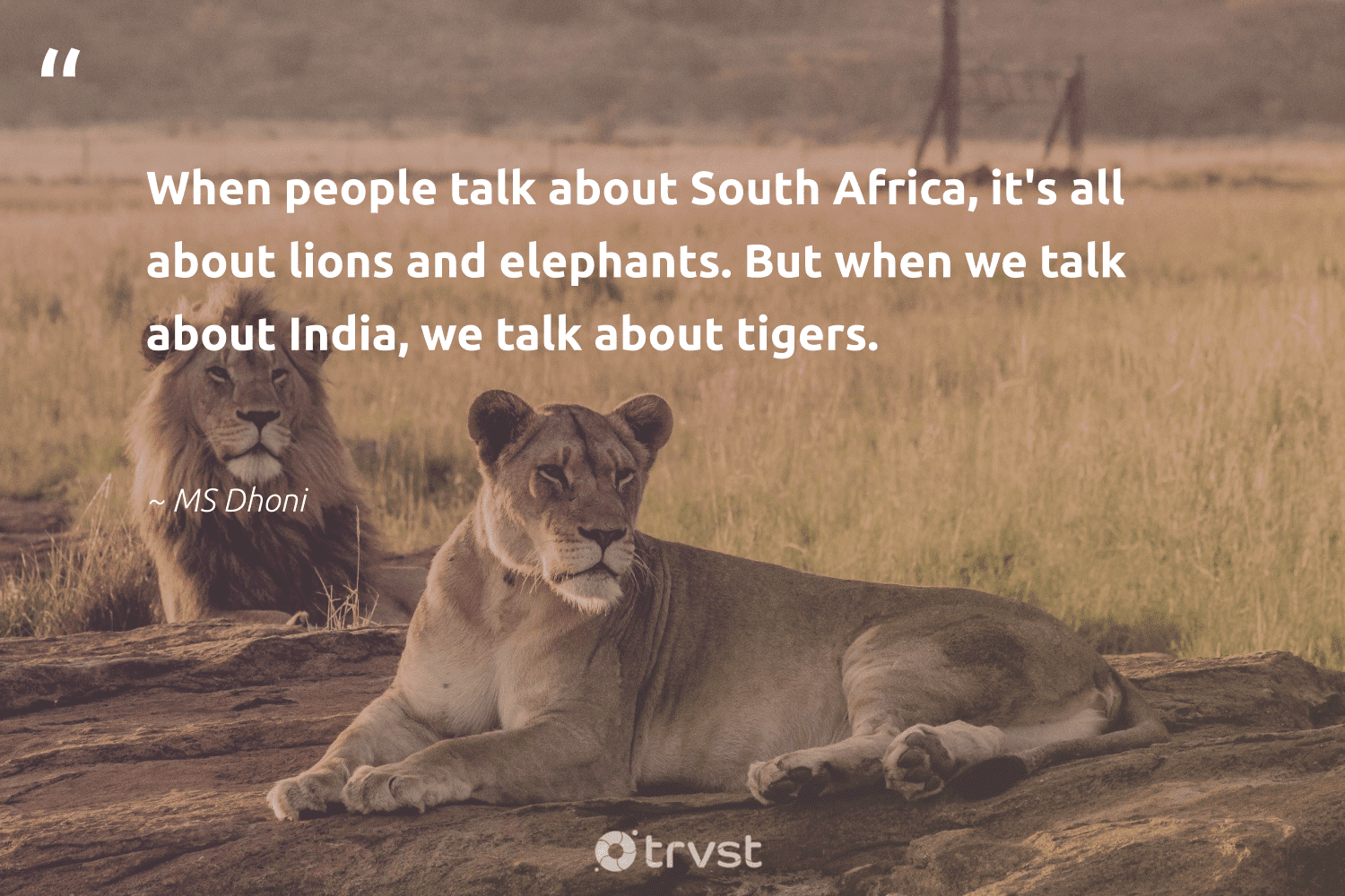 """""""When people talk about South Africa, it's all about lions and elephants. But when we talk about India, we talk about tigers.""""  - MS Dhoni #trvst #quotes #southafrica #india #africa #elephants #lions #splendidanimals #collectiveaction #wildlife #ecoconscious #protectnature"""