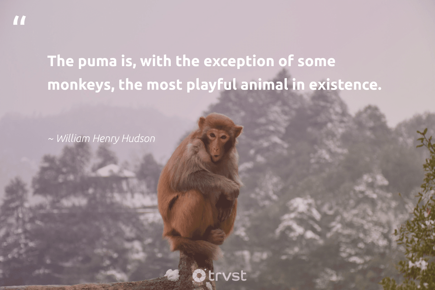 """The puma is, with the exception of some monkeys, the most playful animal in existence.""  - William Henry Hudson #trvst #quotes #animal #monkeys #animallovers #protectnature #natural #takeaction #wildlife #splendidanimals #forscience #planetearthfirst"