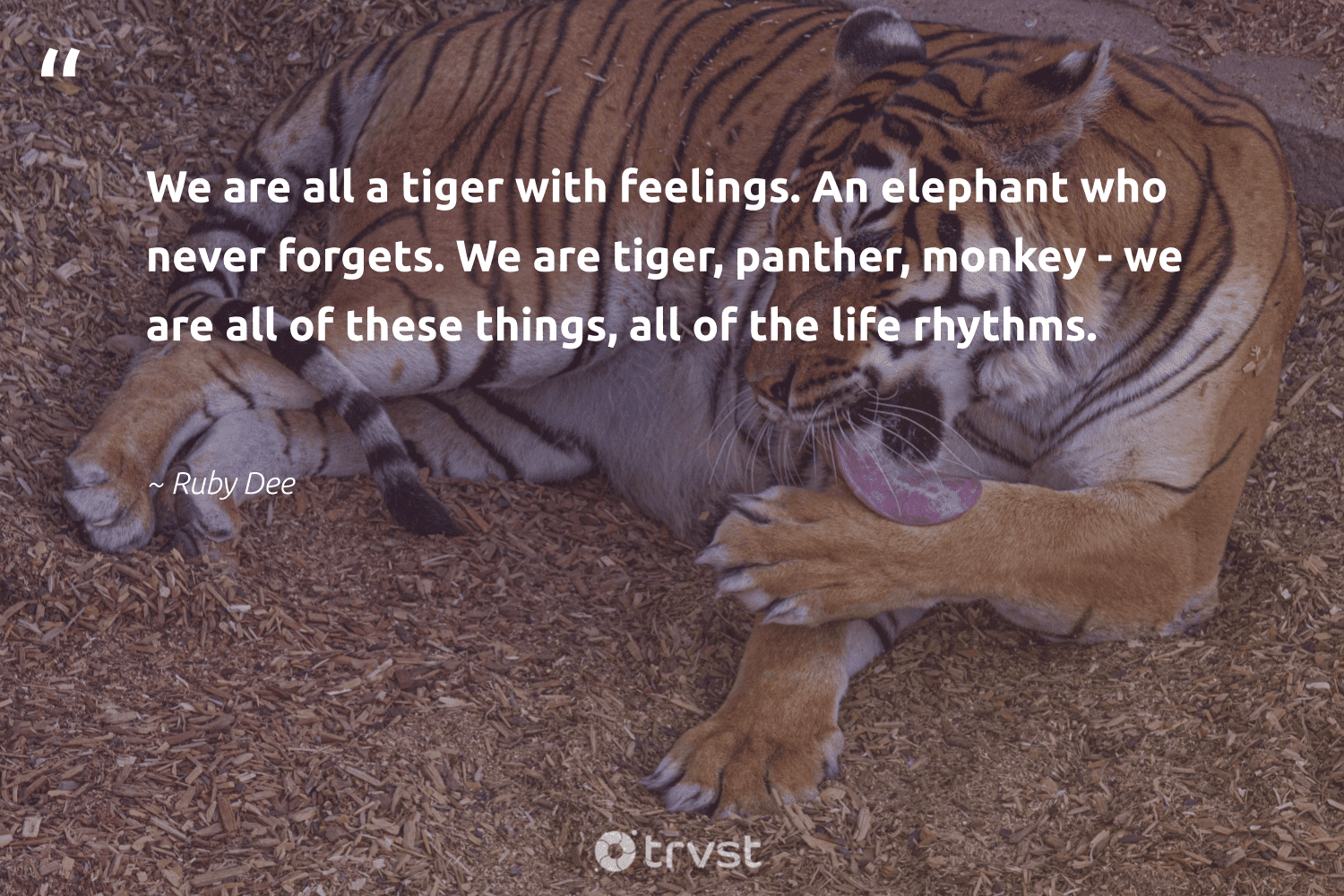 """We are all a tiger with feelings. An elephant who never forgets. We are tiger, panther, monkey - we are all of these things, all of the life rhythms.""  - Ruby Dee #trvst #quotes #tiger #monkey #animalphotography #takeaction #conservation #gogreen #biodiversity #planetearthfirst #sustainability #changetheworld"