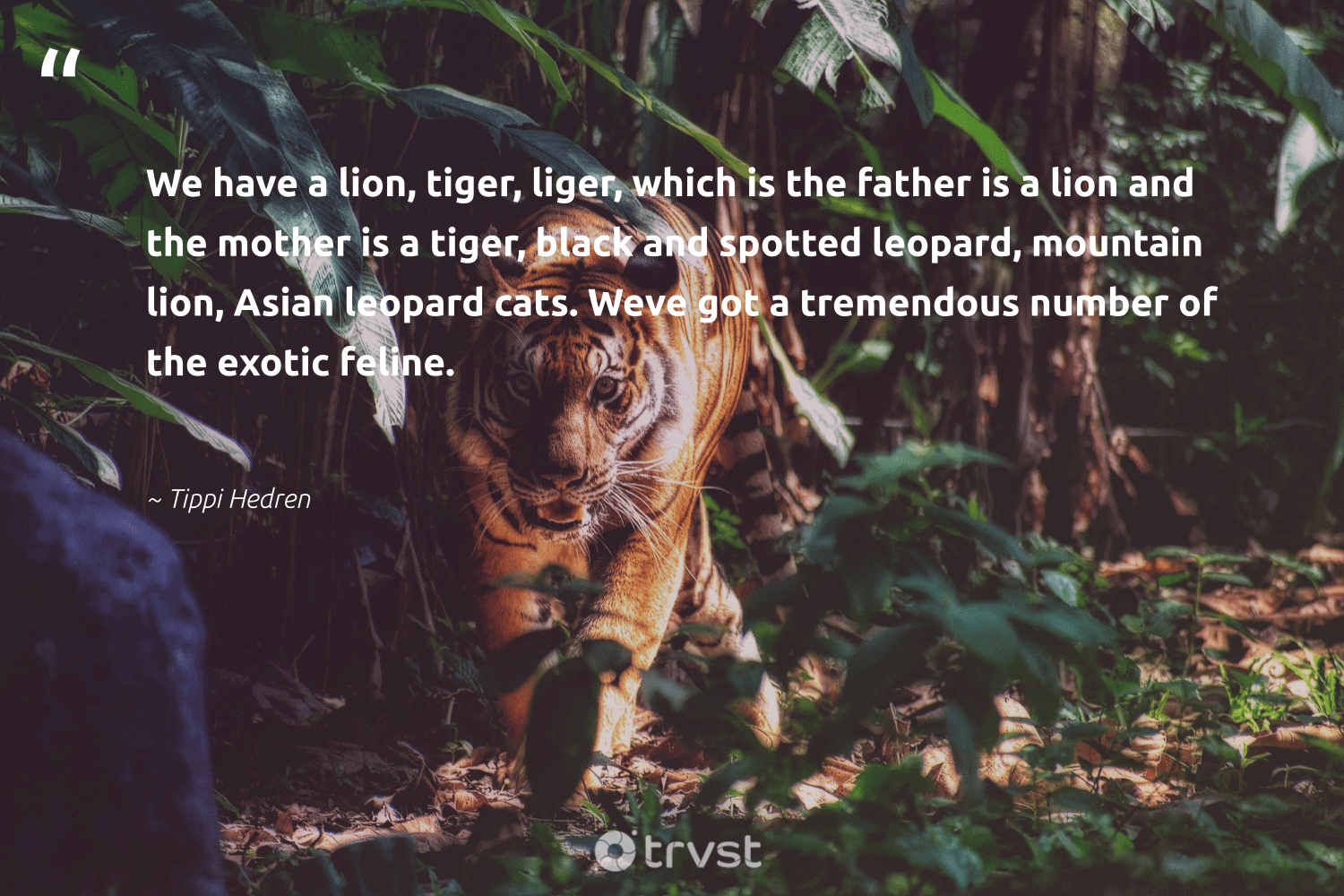 """We have a lion, tiger, liger, which is the father is a lion and the mother is a tiger, black and spotted leopard, mountain lion, Asian leopard cats. Weve got a tremendous number of the exotic feline.""  - Tippi Hedren #trvst #quotes #mountain #tiger #leopard #lion #wildlifeprotection #gogreen #tigers #takeaction #ourplanetdaily #planetearthfirst"