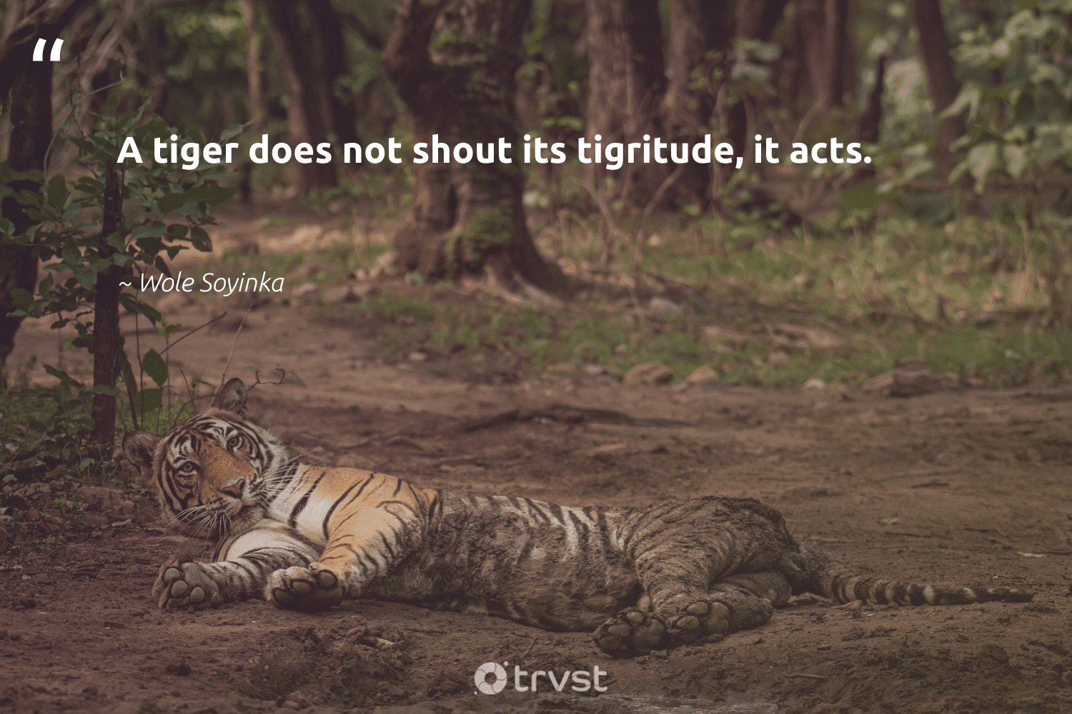 """A tiger does not shout its tigritude, it acts.""  - Wole Soyinka #trvst #quotes #tiger #biodiversity #socialimpact #tigers #socialchange #majesticwildlife #dogood #bigfive #gogreen #amazingworld"
