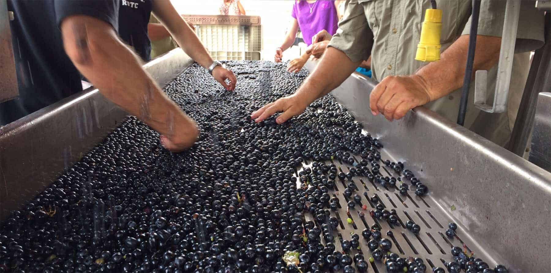 Grape Sorting at the Winery
