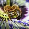 La passiflore bleue offre son nectar