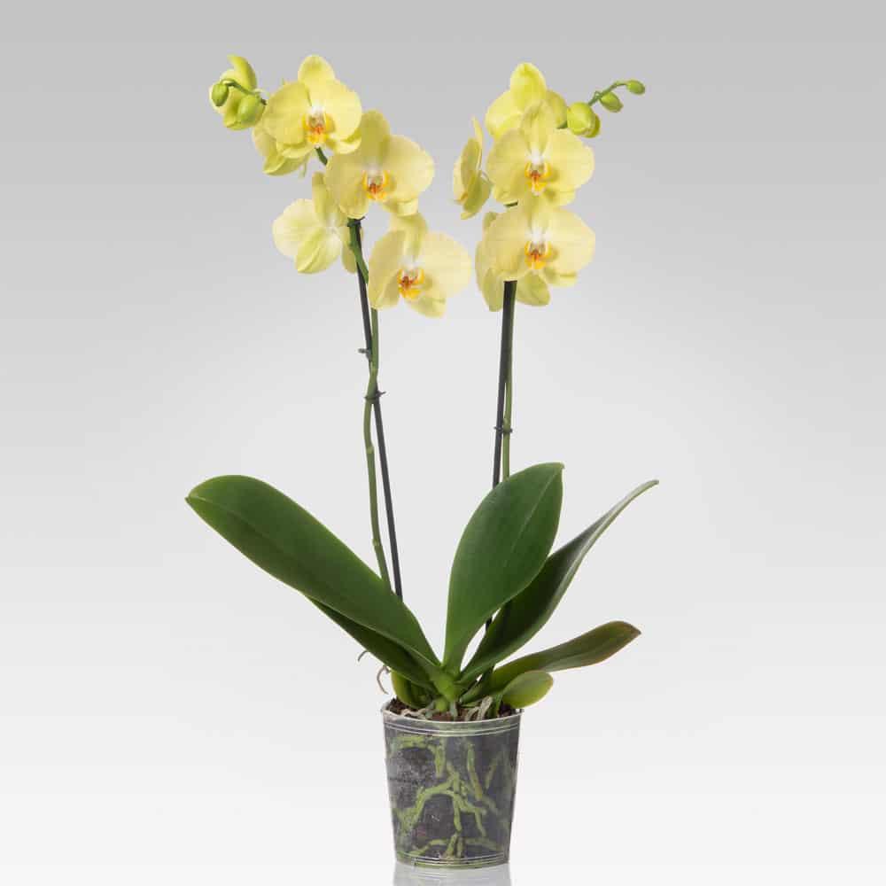 orchidea_donazione_covid-19