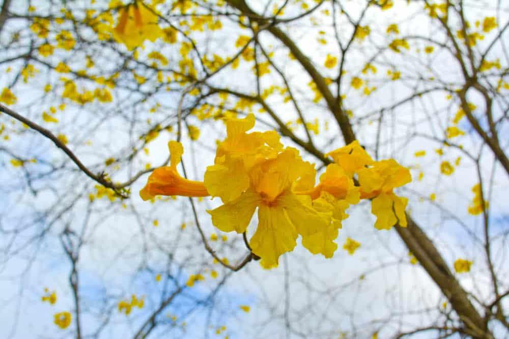 Florecimiento de los Guayacanes en Colimes
