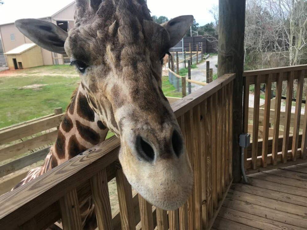 A giraffe saying hi to visitors at the gulf shores zoo.
