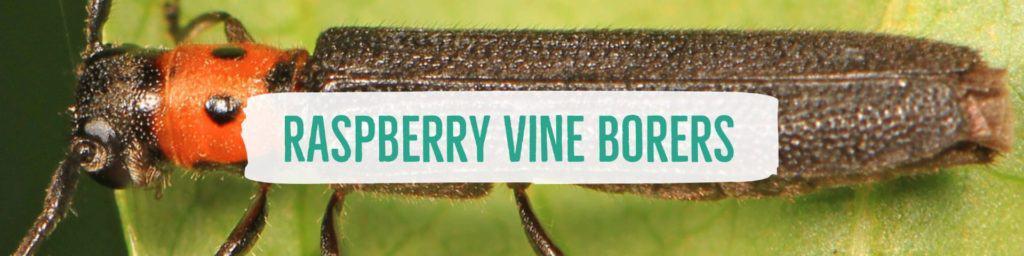raspberryvineborers-header